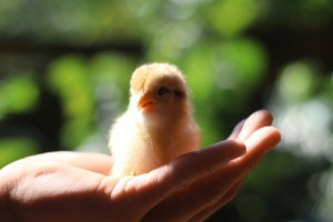 baby chick sitting on a person's hand